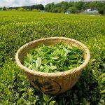 JAS Green tea Made in Japan