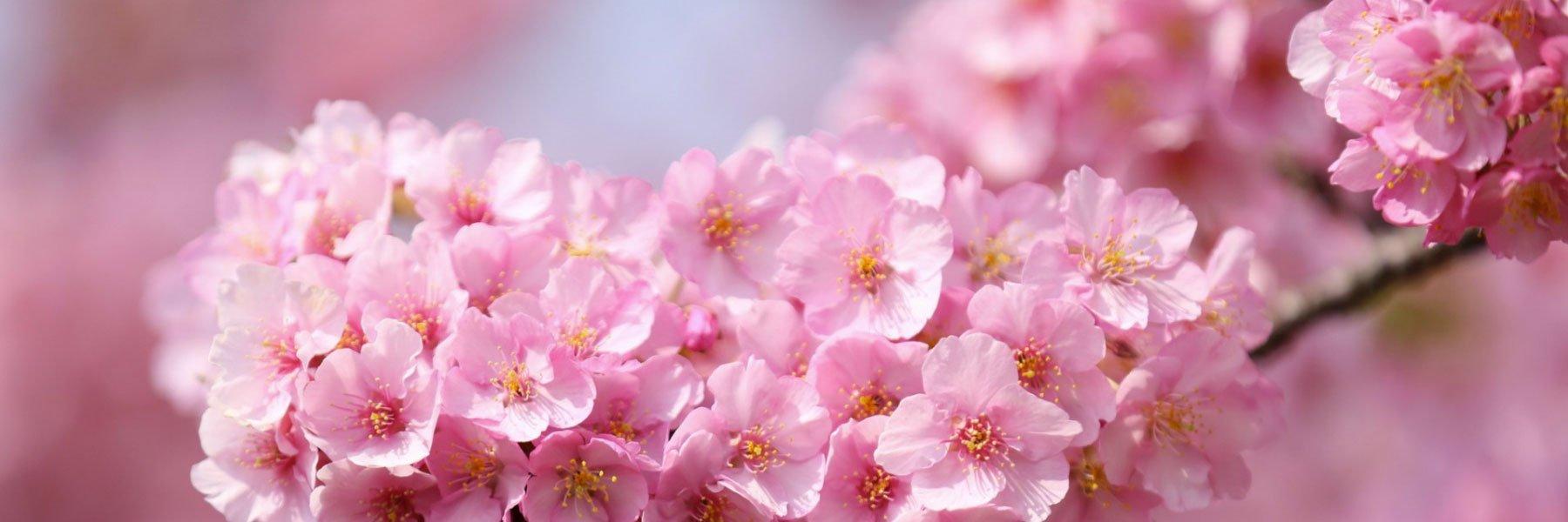3 Best Cherry Blossom Sakura Trees in Japan