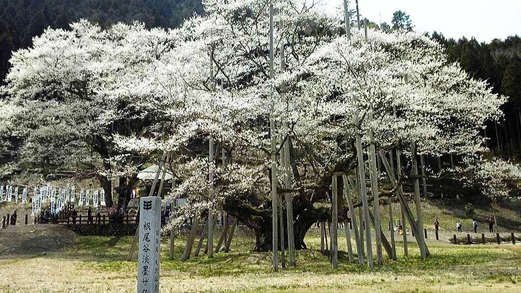 At peak: - Neodani Usuzumi Sakura in Gifu Prefecture (src: www.bit.ly/1TuDn2K)