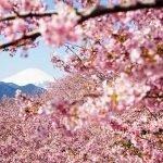 Cherry Blossoms in Japan Sakura Forecast