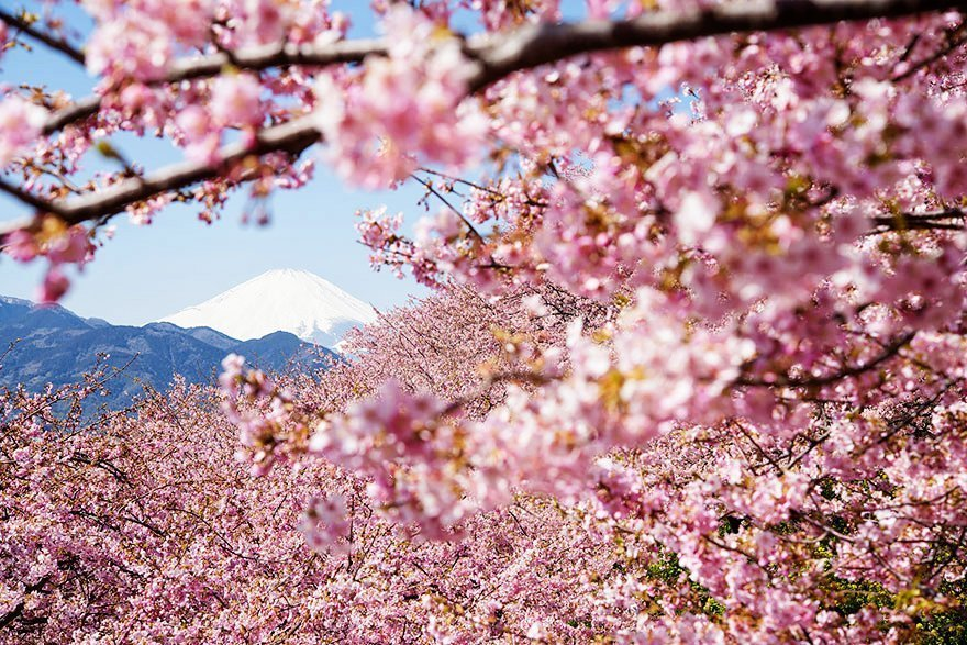 Cherry Blossoms in Japan Sakura Forecast