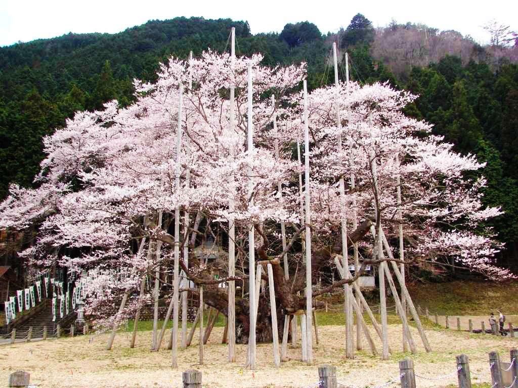 Neodani Usuzumi Sakura - Gifu Prefecture (src: www.bit.ly/21870wN)