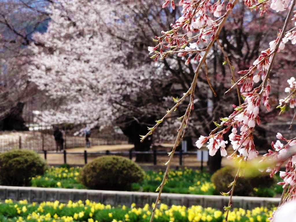 Yamataka Jindai Sakura - Yamanashi