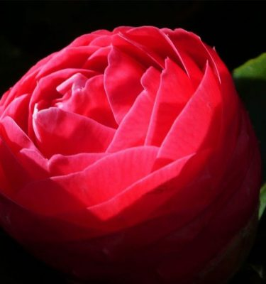 Toshima Organic Tsubaki Camellia Skin Pure Oil - 75ml