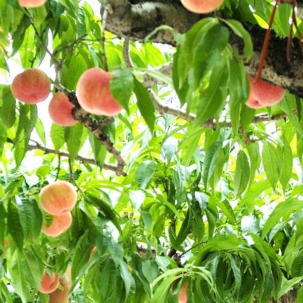 FUJIYA Nectar Peach Design Made in Japan